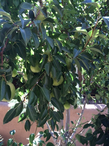 Area 1 Pear Tree