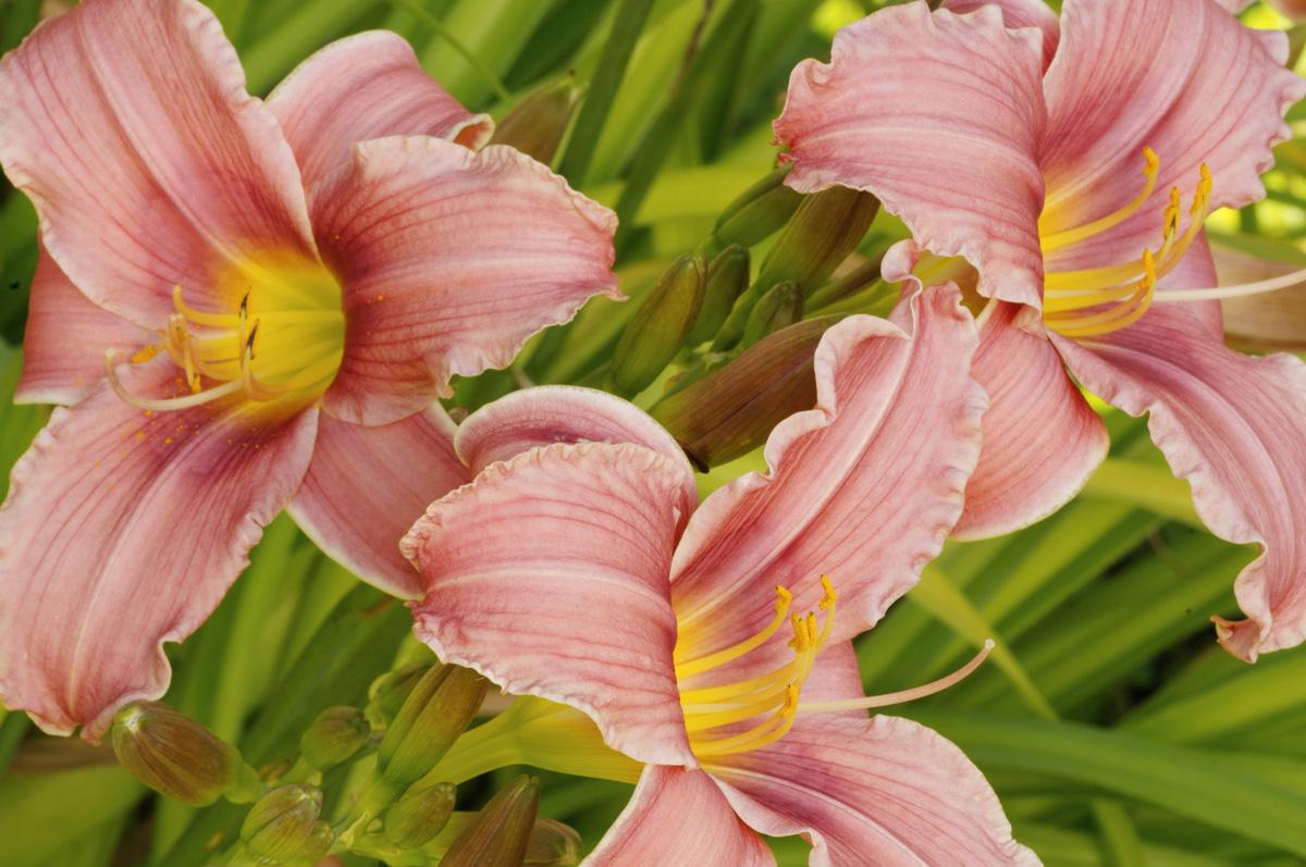 Daylilies placitas garden tour day lily flowers izmirmasajfo Images